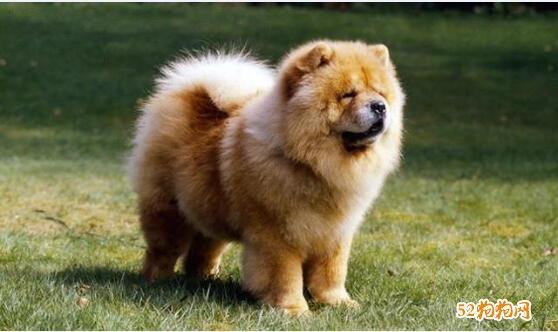 小型松狮犬多少钱一只