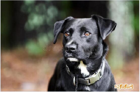 黑拉布拉多犬价格图片