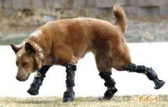 外国网红狗狗四肢穿着马