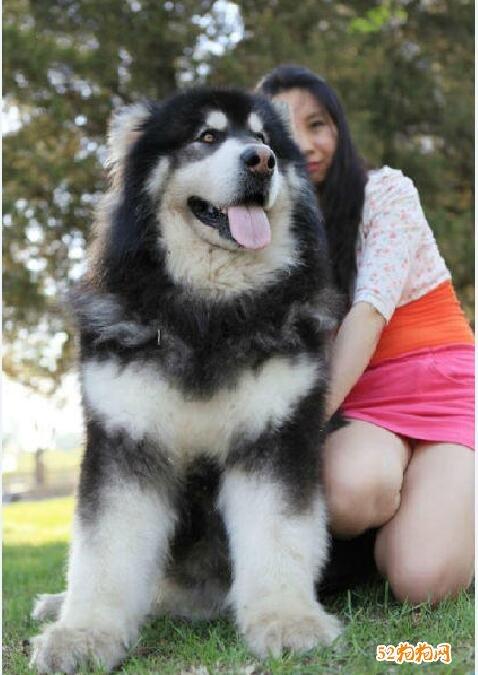 巨型阿拉斯加犬图片