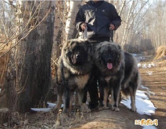 高加索犬养起来危险吗