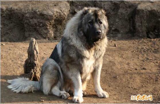 高加索狗图片2