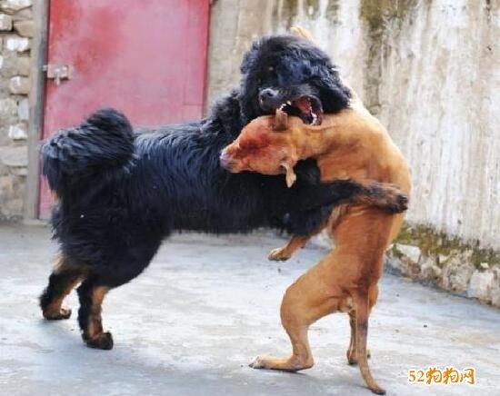 比特犬和藏獒哪个厉害