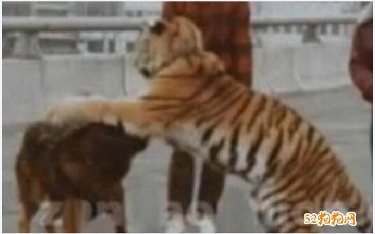 28藏獒围攻2老虎的视频