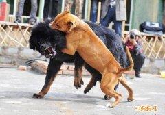 比特犬和藏獒哪个厉害?