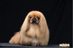 纯种京巴犬价格、京巴犬幼犬价格多少钱一只!