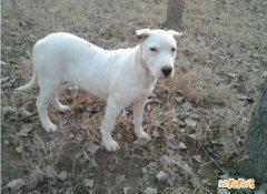 阿根廷杜高犬多少钱?