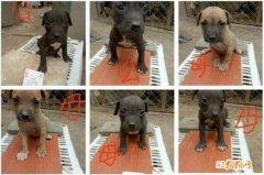 比特犬图片价格、看看这些比特犬值多少钱?