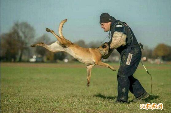 马犬几个月开始训练