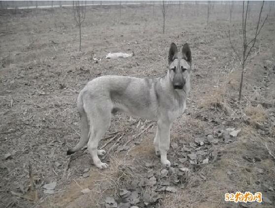 中华狼青犬250斤图片