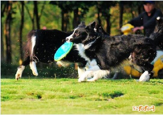 牧羊犬怎么训练