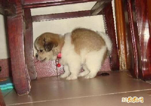 小狗如何训练大小便