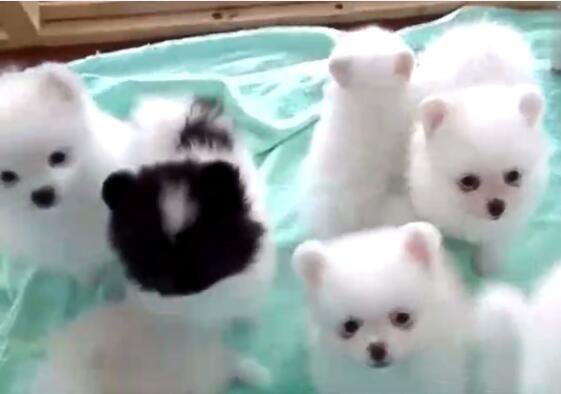 关于小狗的视频、一群超萌小白狗太可爱了!