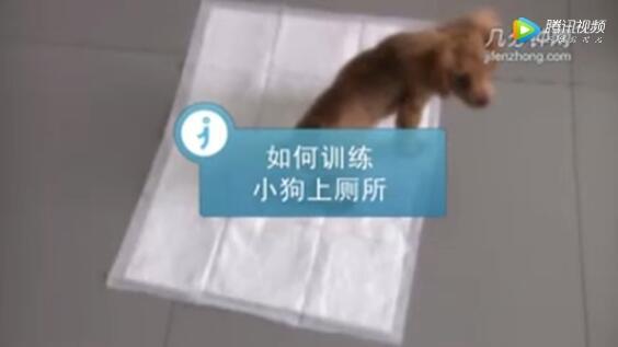 训练小狗的视频、三分钟教你学会训练小狗上厕所!