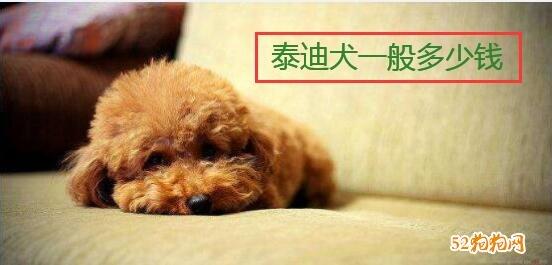 泰迪犬一般多少钱