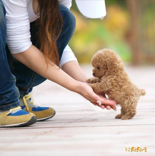 宠物泰迪犬、最受欢迎的宠物泰迪犬有哪些优缺点?