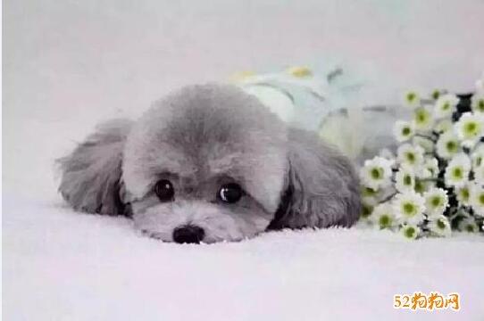 灰色贵宾犬图片1