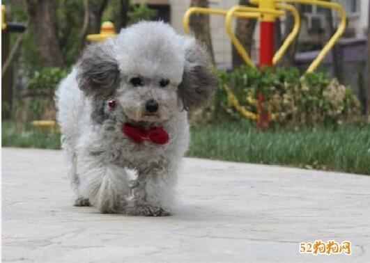 灰色贵宾犬图片2