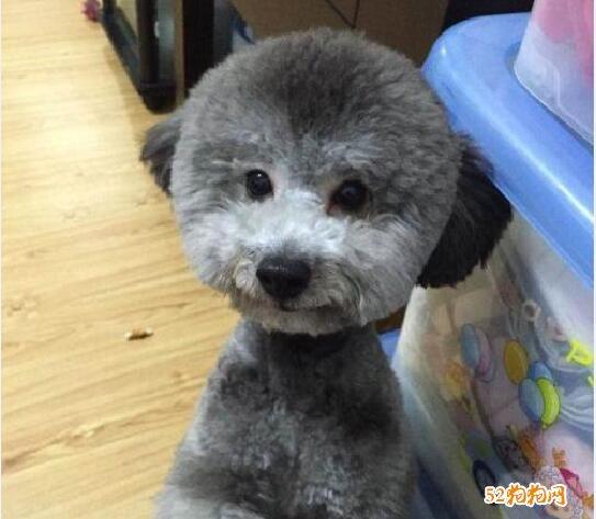 灰色贵宾犬图片4