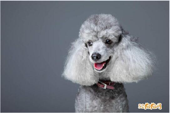 灰色贵宾犬图片6