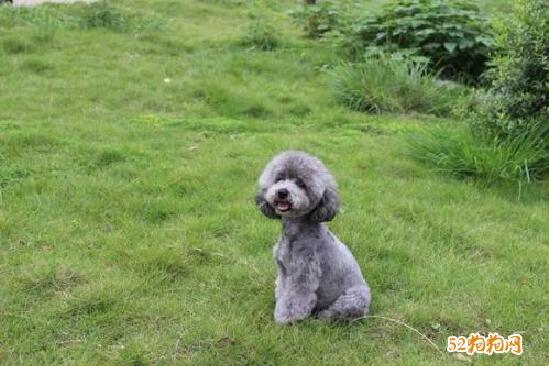 灰色贵宾犬图片7