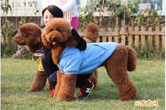 大型贵宾犬、大型贵宾犬的特点?多少钱一只?