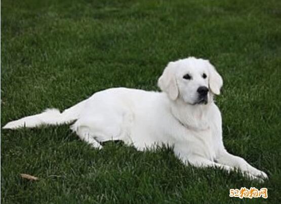 白色金毛犬图片2