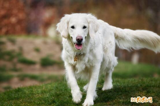 白色金毛犬图片3