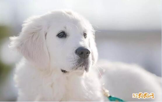 白色金毛犬图片5