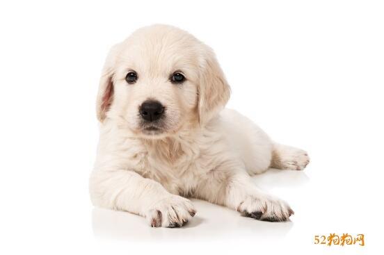 白色金毛犬图片6