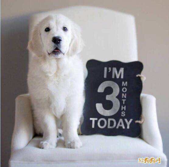 白色金毛犬图片7
