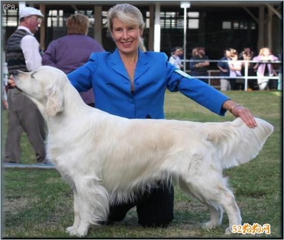 白色金毛犬图片8