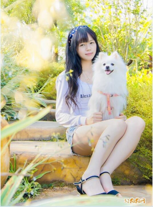 白色博美犬图片7