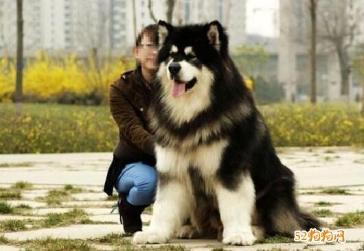 阿拉斯加巨型犬图片