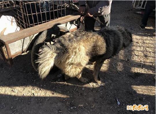 大高加索犬、大高加索犬多少钱一只?