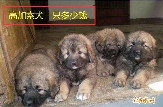 高加索犬一只多少钱?