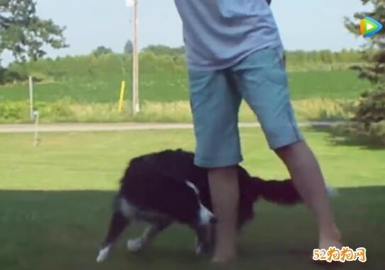 边境牧羊犬视频大全集