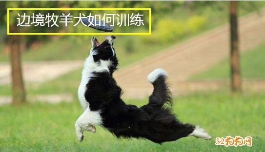 边境牧羊犬如何训练