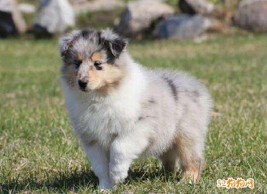 买苏格兰牧羊犬