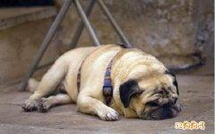 宠物巴哥犬介绍、宠物巴哥犬市场价格多少?