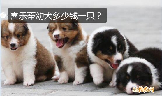 喜乐蒂幼犬多少钱一只?