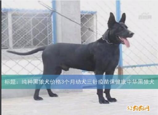黑狼犬的价格、黑狼犬幼崽价格?