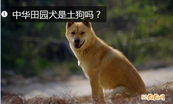 中华田园犬是土狗吗?