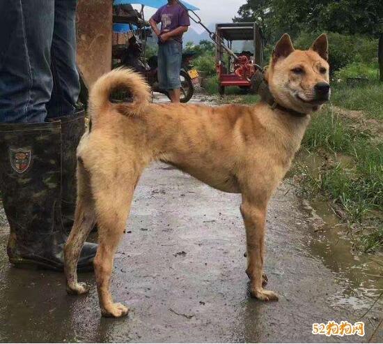 土狗图片、中华田园犬图片大全6