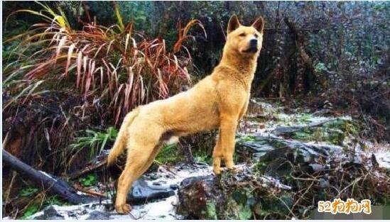 土狗图片、中华田园犬图片大全9