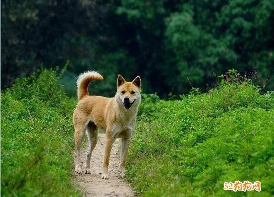 土狗图片、中华田园犬图片大全10