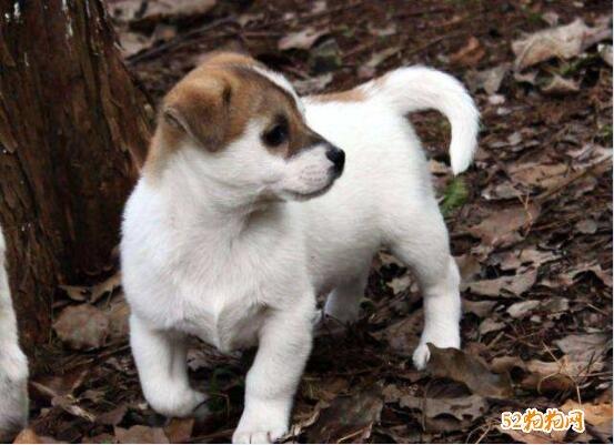 土狗图片、中华田园犬图片大全12