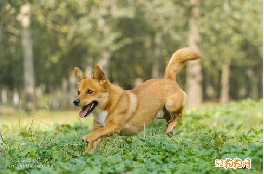 土狗图片、中华田园犬图片大全13
