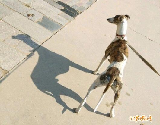 格力犬转让、哪里有格力犬转让?价格多少?