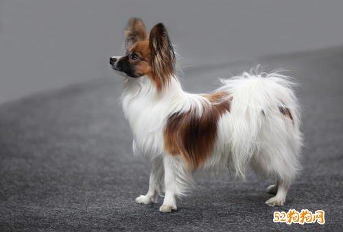 小宠物狗品种图片大全欣赏